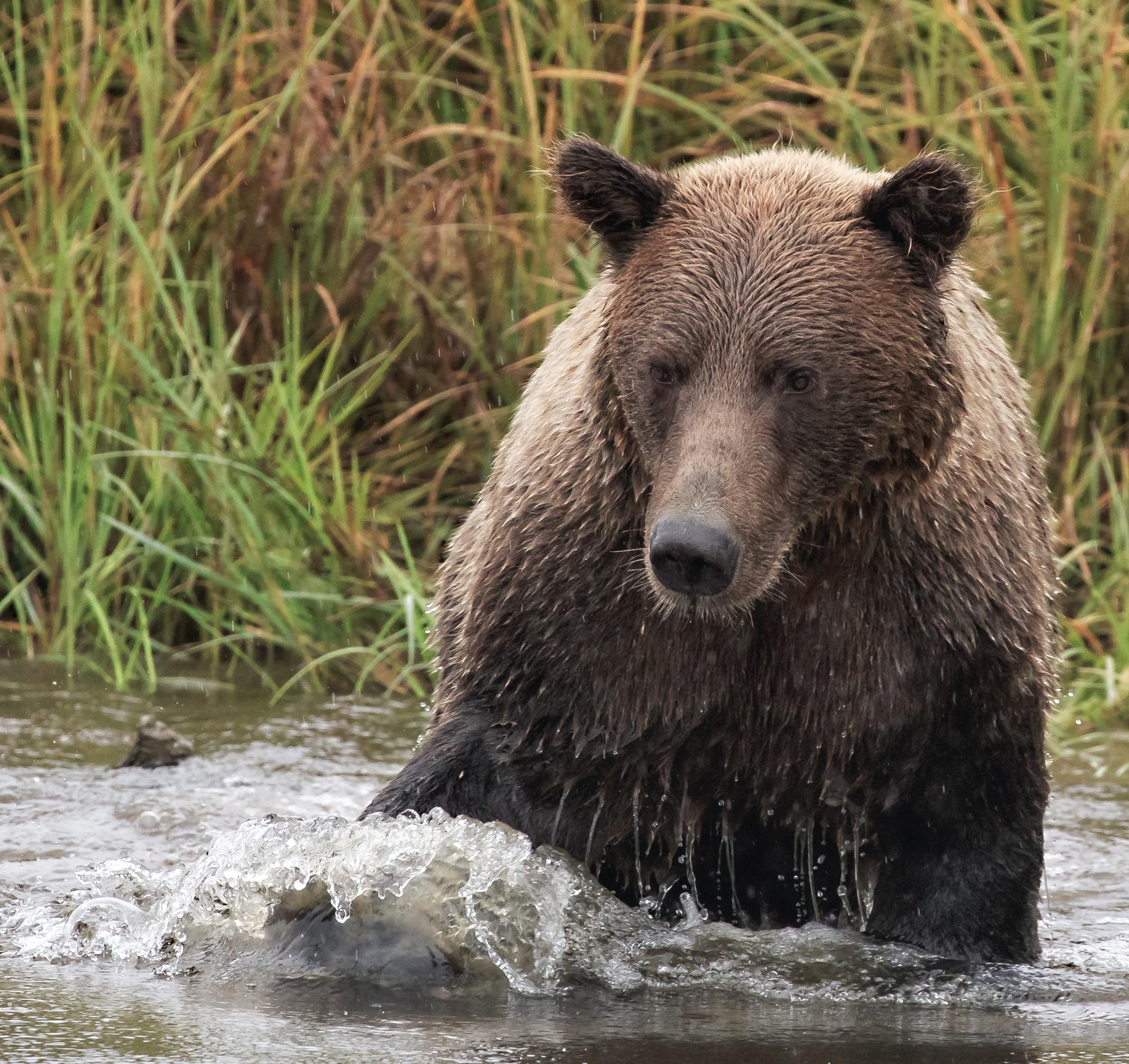 Wink Gaines Fishing Brown Bear