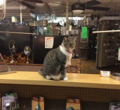 Lumen the cat surveys her domain at Northern Lighting in Westerville, OH.