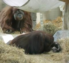 Virginia Zoo, Sentara Heart Hospital, orangutans, ultrasound