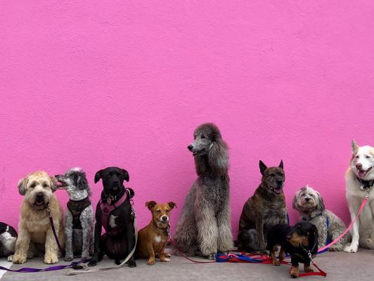 Dogs together against pink wall