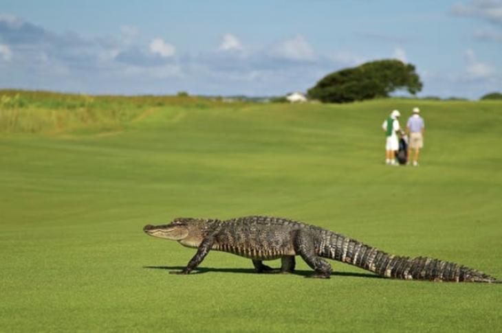Alligator on golf course_Pixabay