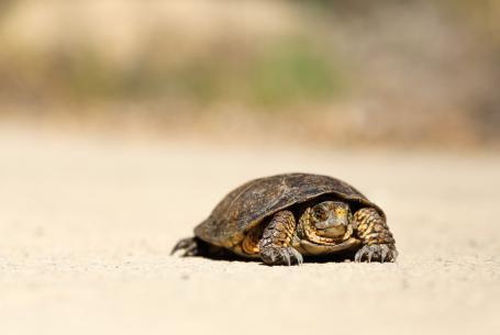 slow turtle