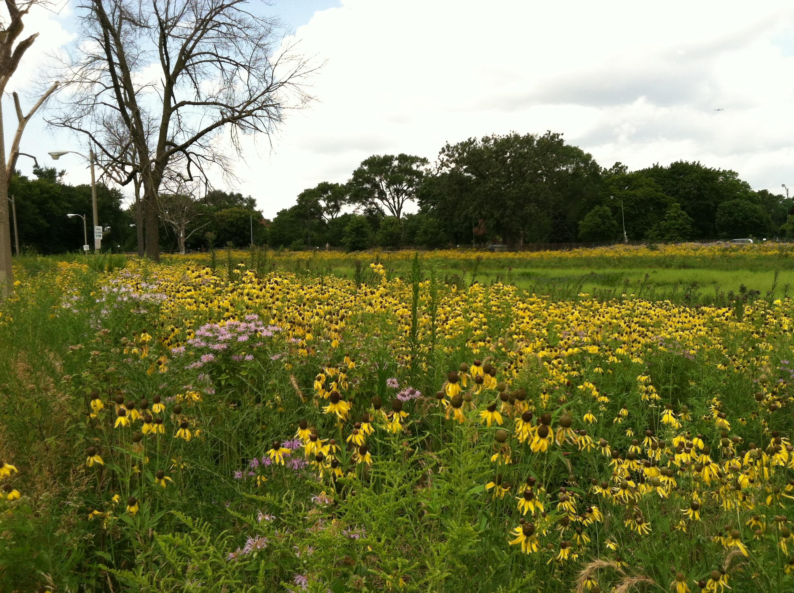 flowers, chicago, chicago wetland