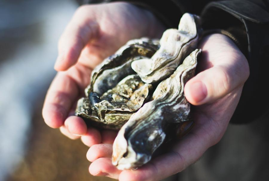 Oyster restoration initiative aims to improve storm water quality in New York Harbor