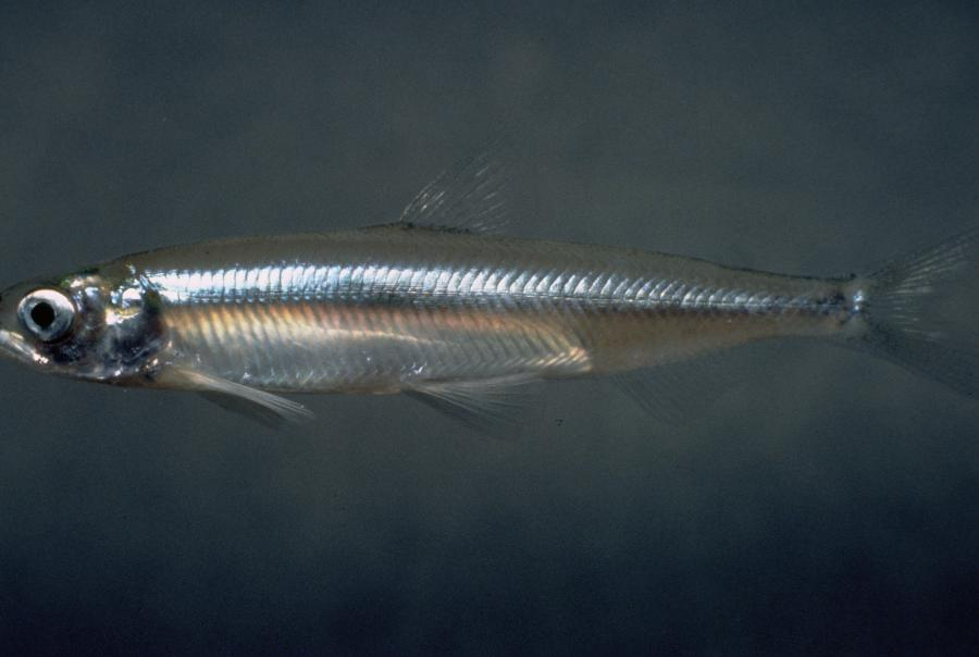 california bay-delta estuary, endangered species act, NRDC, delta smelt fish