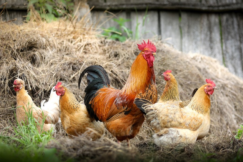 Community worries poultry facilities may cause pollution and odor issues