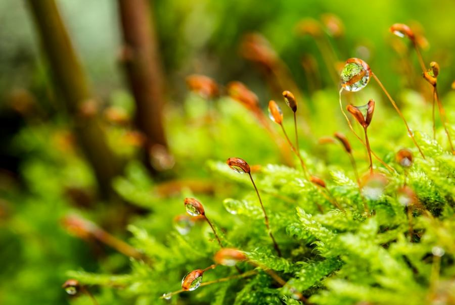 moss improves drinking water quality and removes arsenic